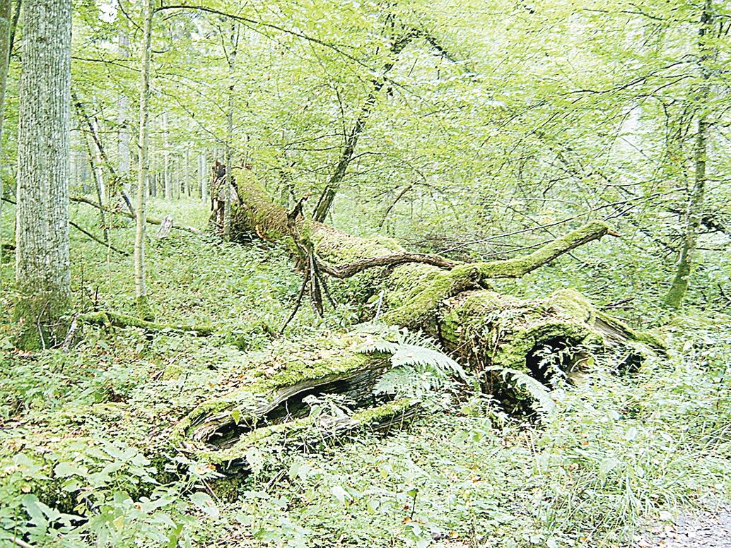 歐洲最後原始森林面臨經濟活動威脅