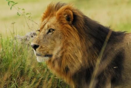 非洲獅子已被列入瀕危物種,而且數量越來越少。(University of New South Wales)