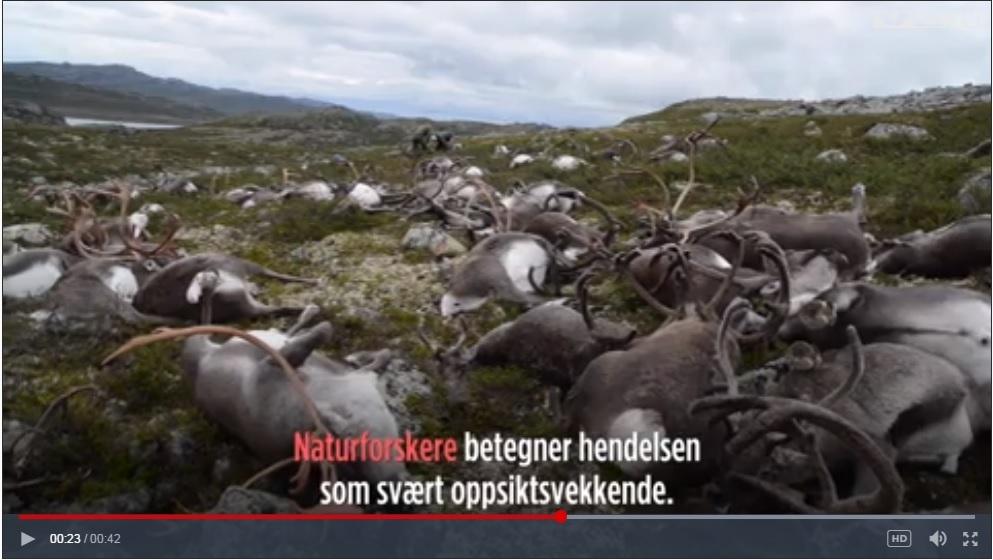 挪威一場雷暴擊斃322隻馴鹿 氣象專家震驚