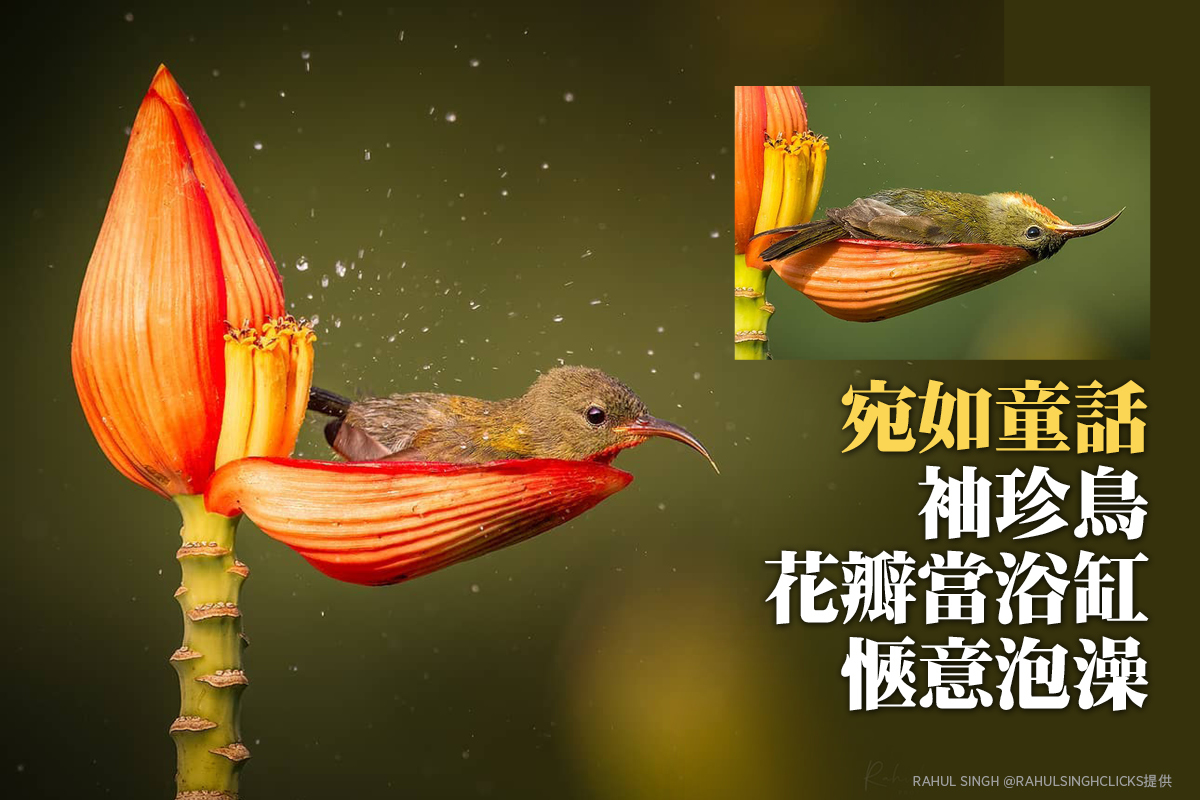 宛如童話 袖珍鳥「花瓣當浴缸」愜意泡澡 (多圖)
