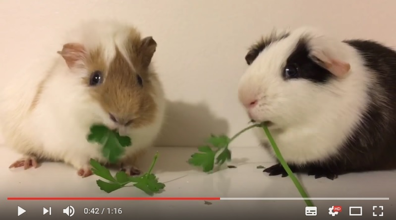 看兩隻可愛天竺鼠比賽吃東西 心都融化了