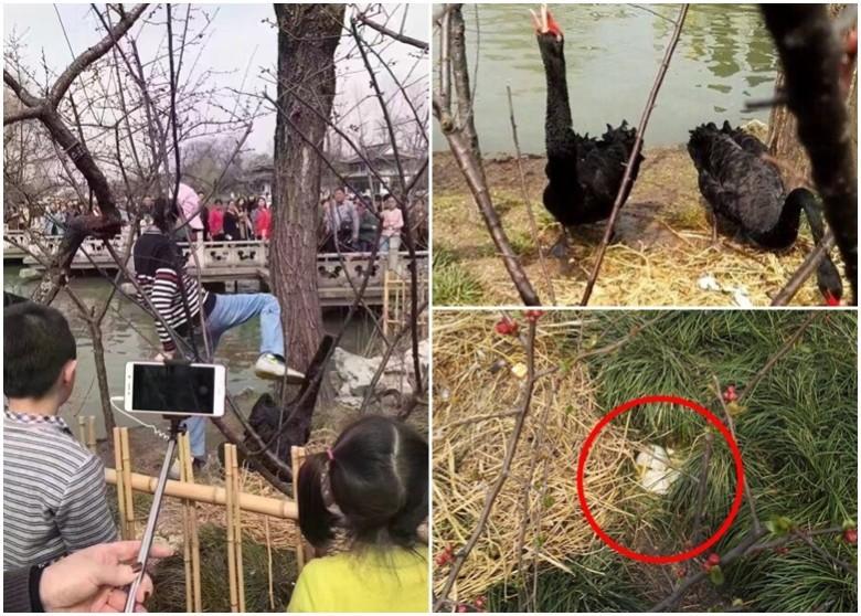 江蘇遊客毀蛋虐傷黑天鵝 是誰讓他變冷血?