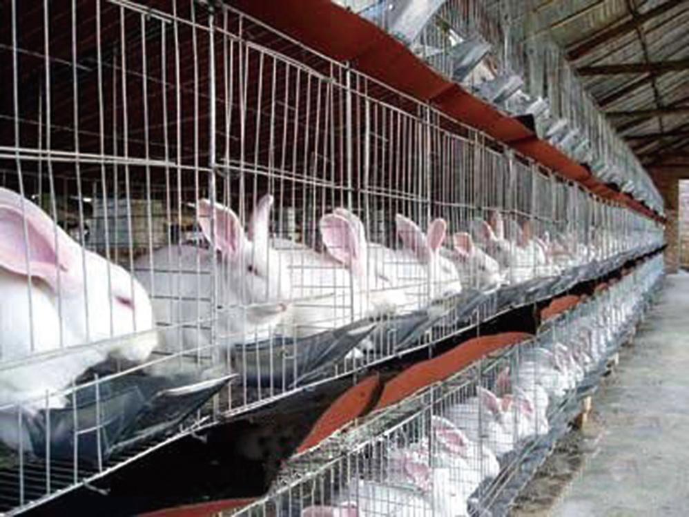 為兔子請命歐洲將禁不人道飼養