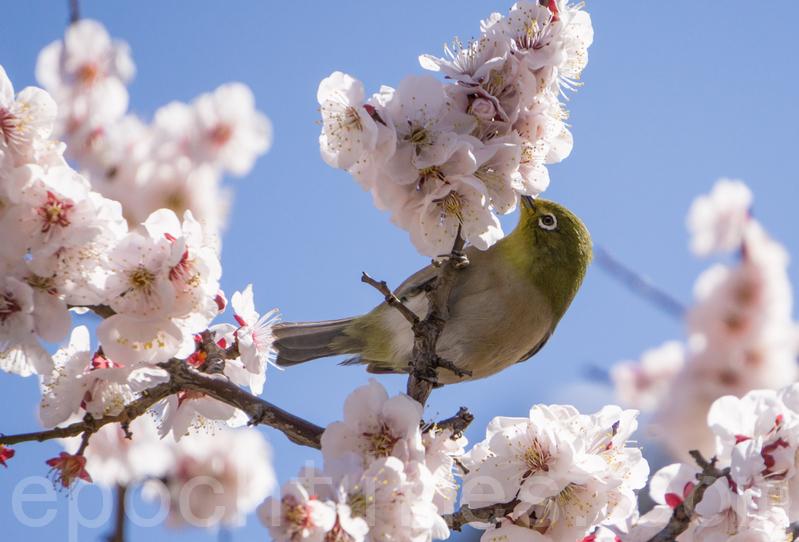 東京梅花盛開 小鳥也賞花?