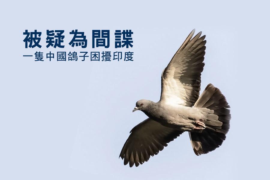 被疑為間諜 一隻中國鴿子困擾印度