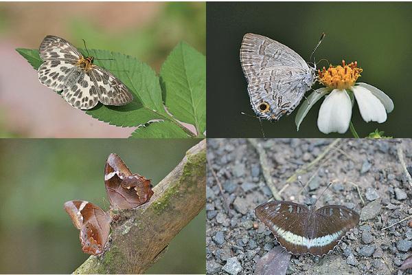 大欖邊陲現罕見蝴蝶品種