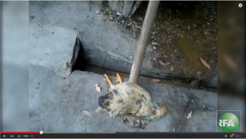 養雞場內的病死雞。(視頻擷圖)