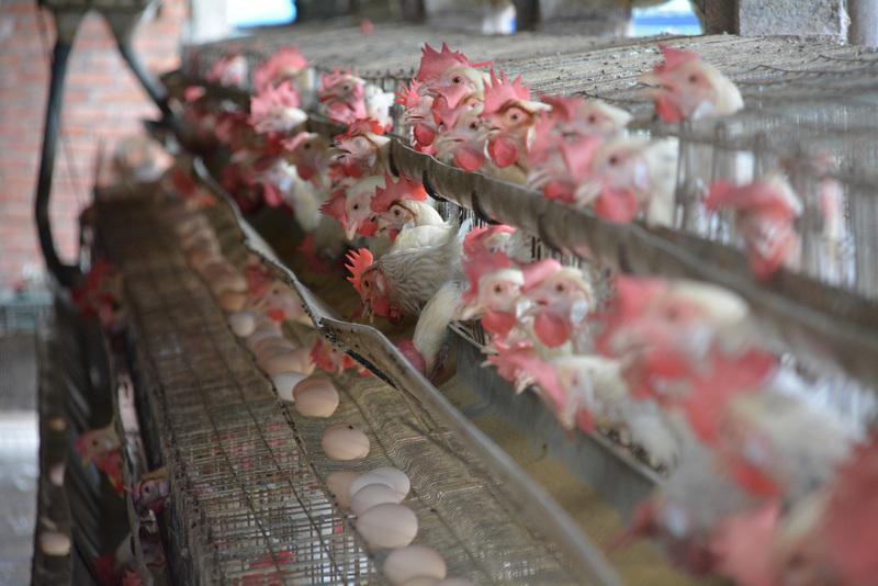 台灣雞蛋也檢出殺蟲劑 即日起回溯下架