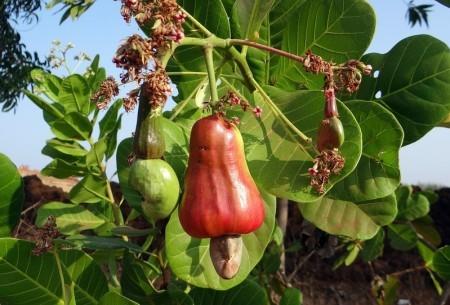 腰果屬無患子目漆樹科腰果屬。只吃兩把腰果,就可攝入2,000毫克的色氨酸。(pixabay)
