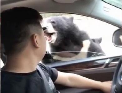 八達嶺黑熊咬人片段公佈:遊客開窗投食