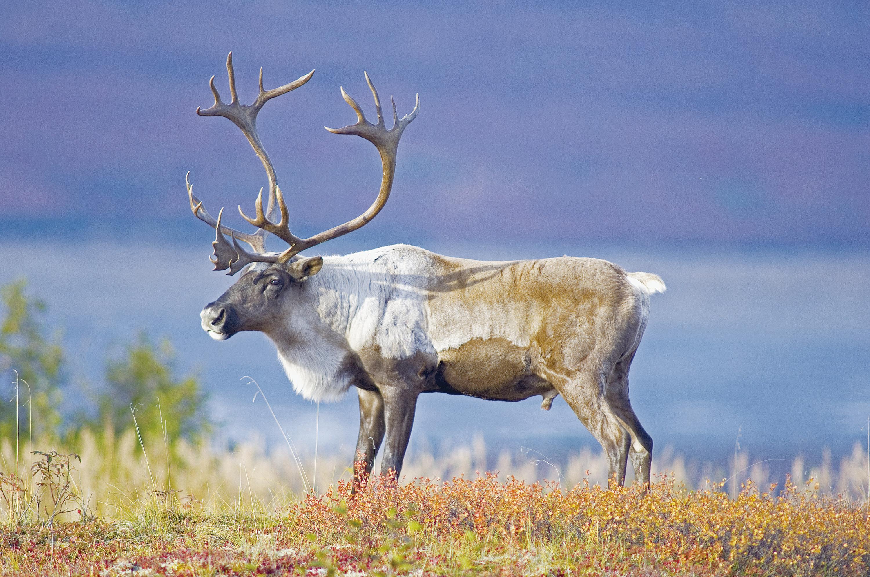 阿拉斯加遊記(五)動物王國Anchorage