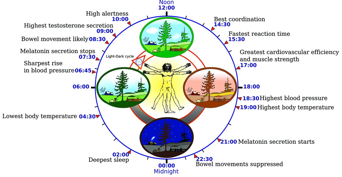 人體肌肉內也存在生物鐘