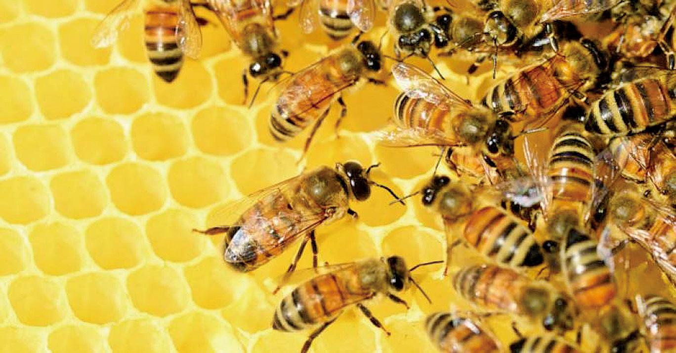 全球七成半蜂蜜含殺蟲劑,歐盟下月決定是否禁用