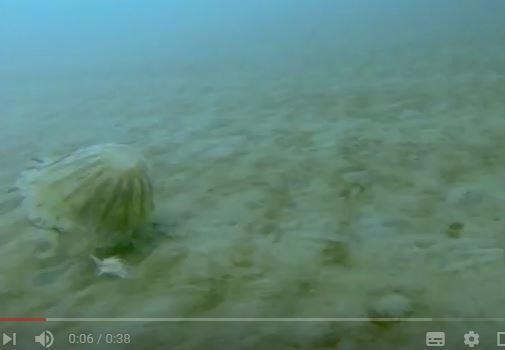 北極冰層下發現巨型水母 罕見片段曝光