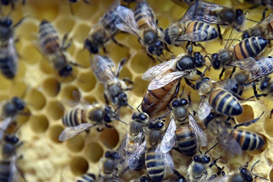 小心! 蜜蜂蟄傷幾與毒蛇咬傷一樣致命