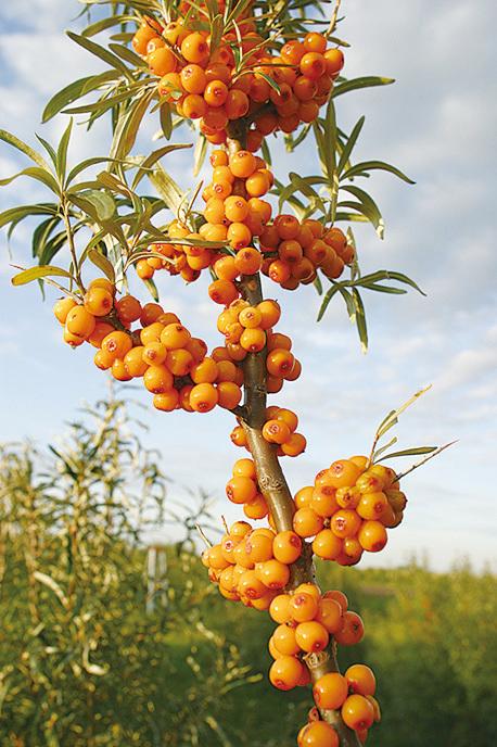 驅走冬季流感的天然果子