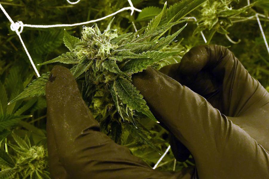 美繳獲八千萬美元非法大麻 中國公民涉案