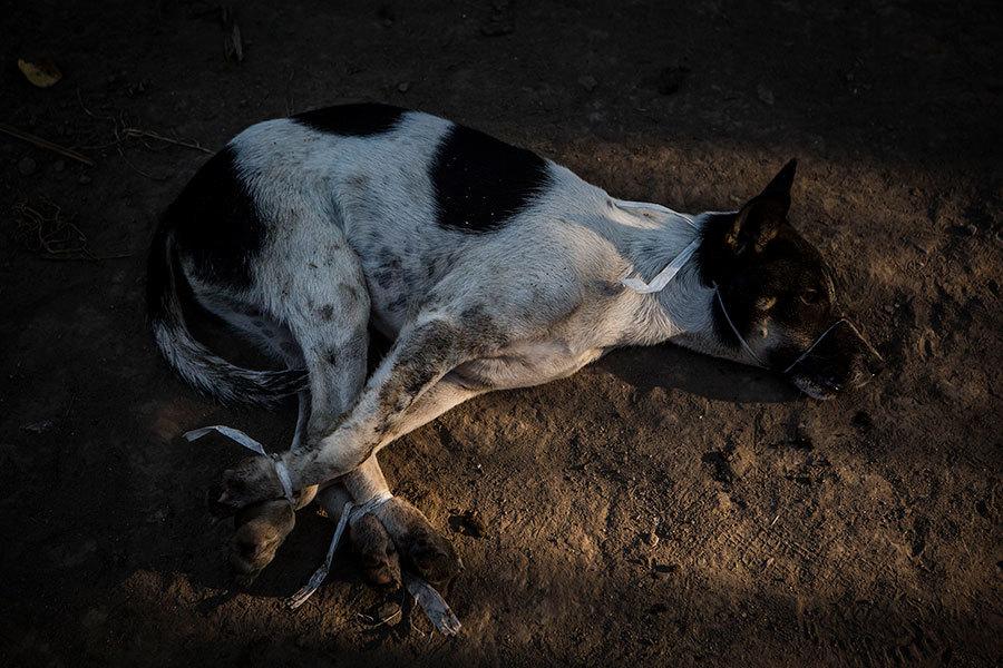 用毒飛鏢殺狗 「毒狗肉」或現中國廿多省
