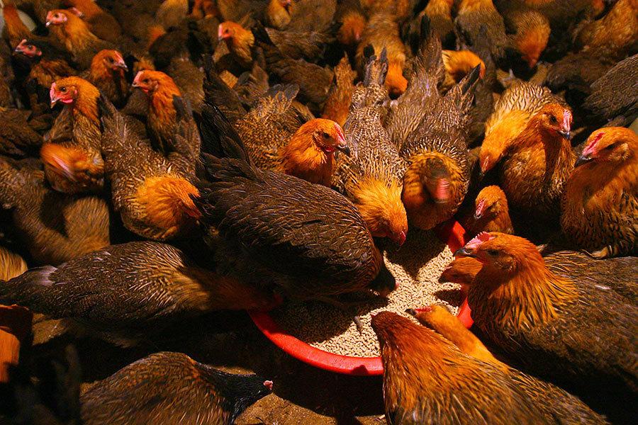 大陸養殖業飼用抗生素 「超級細菌」橫行