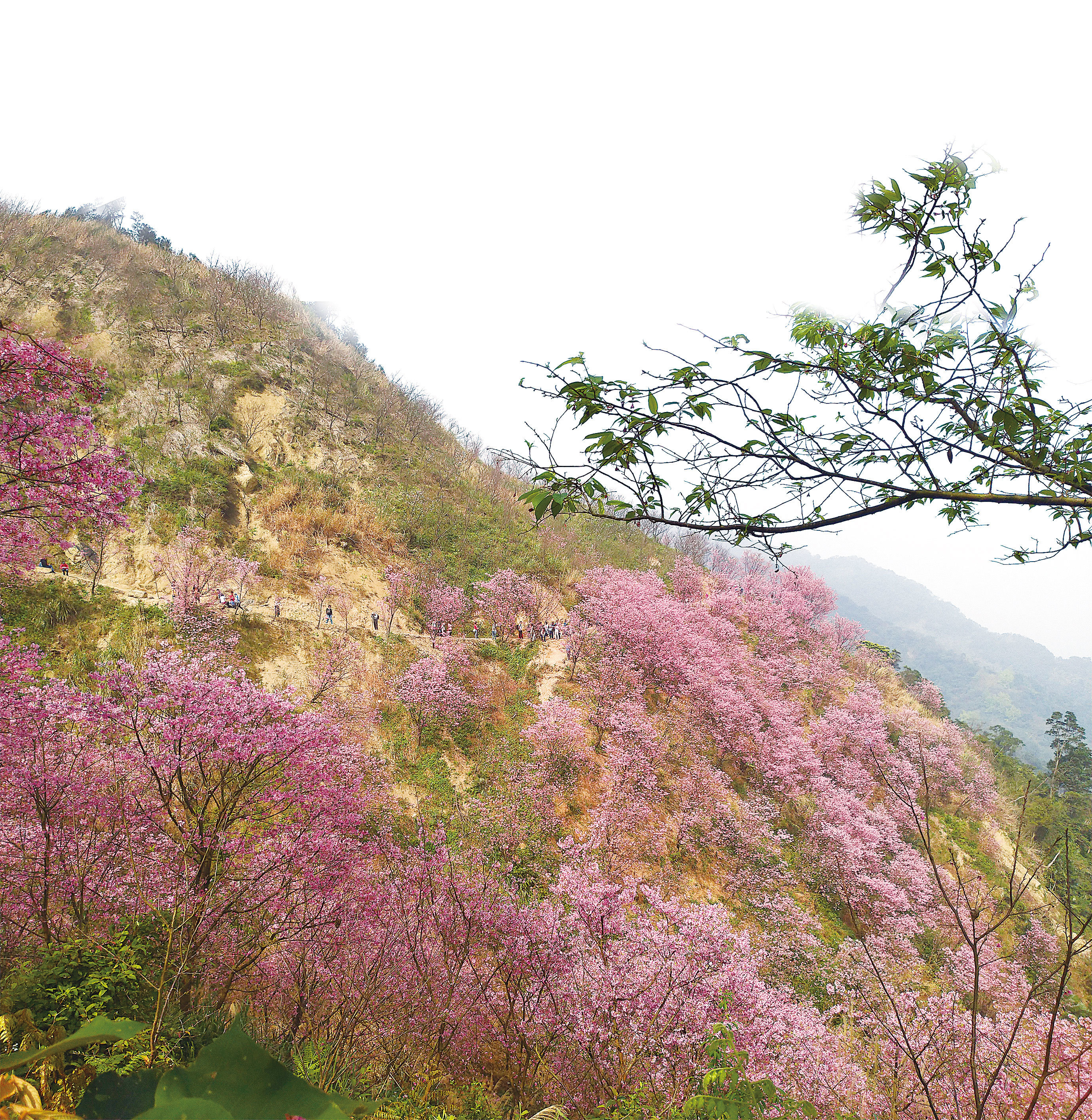 追尋春色正是時 台灣三峽熊空覓櫻蹤