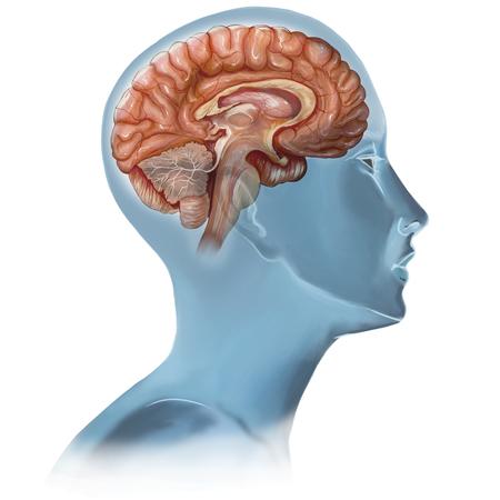 大腦有無窮的奧秘。(Fotolia)