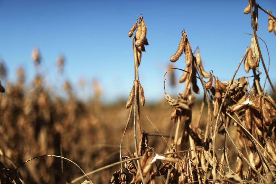 中共擴大大豆種植當政治任務 難解燃眉之急