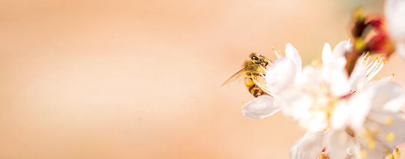 對付超級細菌 蜂蜜勝過抗生素