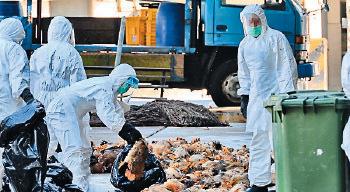 當局2014年曾因由廣東惠州進口的活雞驗出H7病毒而殺雞。(大紀元資料圖片)